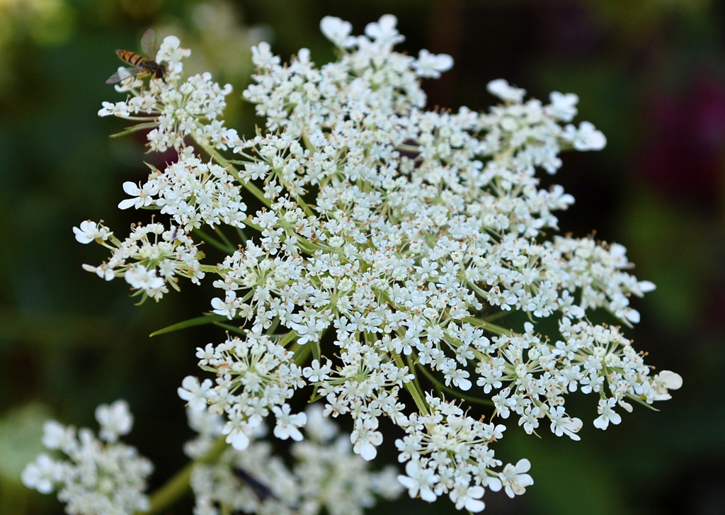 Tall Weeds With White Flowers Choice Image - Flower Decoration Ideas