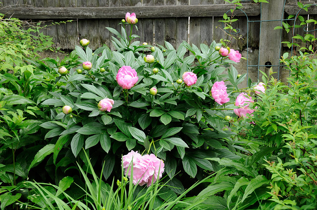 We Have Been Propagating Peonies To ...